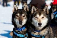 Iditarod 2012: Surprising Facts You Need to Know About Premier Dog-Sled Race