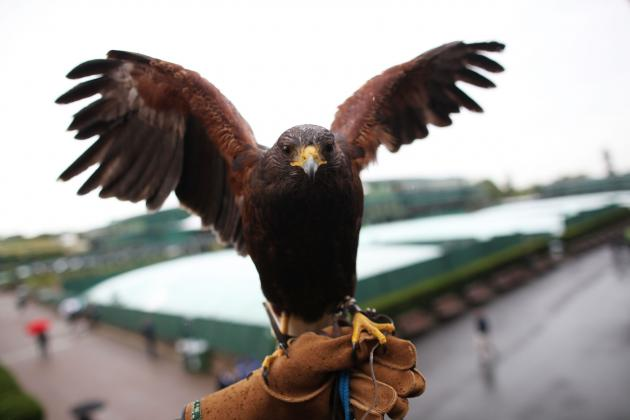 Rufus, the Wimbledon Hawk, Was Lost and Now He's Found