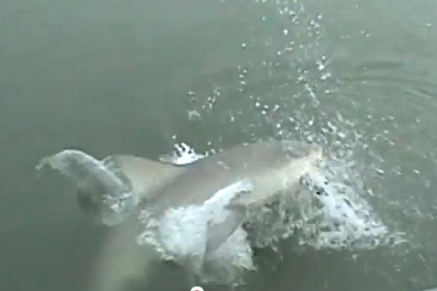 Myrtle Beach Fishing Video Featuring Bullhead Shark Both Terrifying and Amazing