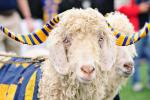 Navy's Mascot Is Bill the Goat, and He Was Kidnapped