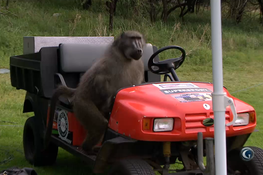 Baboon Caught Stealing Food, Acting a Fool at Nedbank Golf Challenge