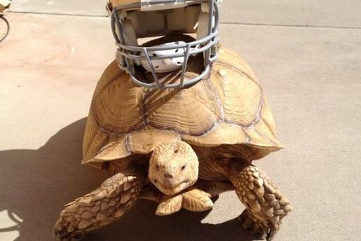 Colin Kaepernick's Turtle Is a Tortoise, for Those of You Wondering