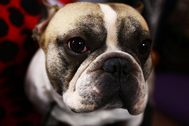 Westminster Kennel Club Dog Show 2013: Start Time, Live Stream and TV Schedule