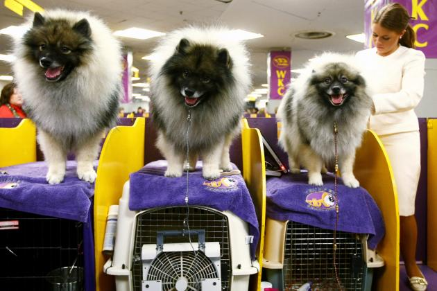 2013 Westminster Dog Show: Historically Successful Breeds to Watch in Showcase