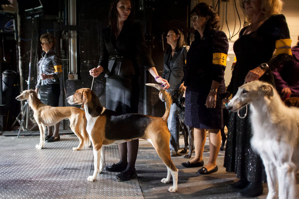 Westminster Dog Show 2013 Results: Monday Winners with Top Shot at Best in Show