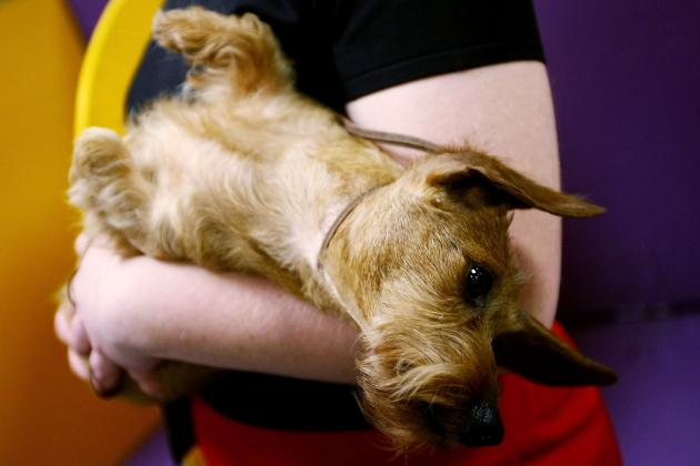 2013 Westminster Dog Show: What to Watch for in Final Night of Competition