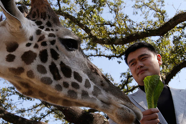 Yao Ming Is a Baby Giraffe Now (VIDEO)