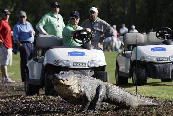 Three-Legged Alligator Crosses Fairway at Zurich Classic