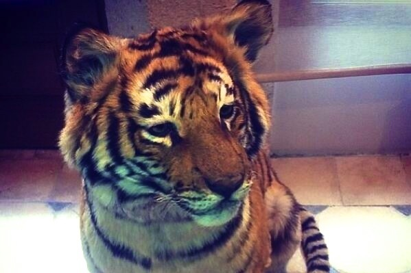Darnell Dockett Nabbed a Pet Tiger, Looking to Add Monkey If You Know of Any