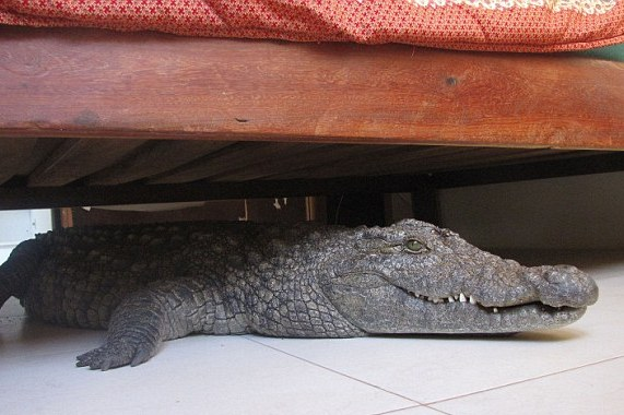 Man, 40, Finds 8ft Crocodile Hidden Under His Bed