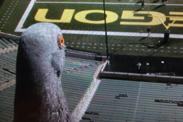 Menacing Pigeon Spies on Oregon Ducks Practice, Is Possibly Linked to Nick Saban