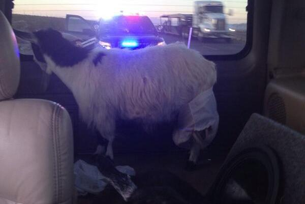 Jose Canseco Got Pulled over with Goats in His Car