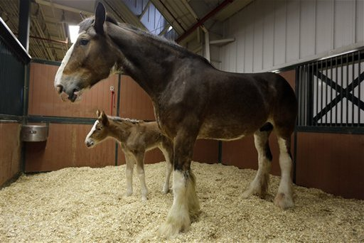 Budweiser Super Bowl Commercial 2014: Watch Clydesdales Star in 'Puppy Love' Ad
