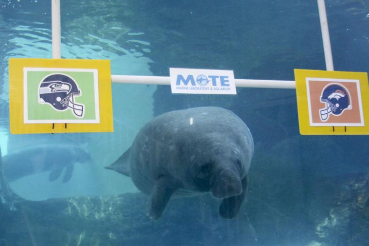 Clairvoyant Manatee Picks Broncos over Seahawks in Super Bowl XLVIII