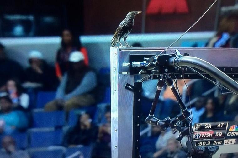 Bird Perches on Top of the Backboard During Wizards-Spurs Game