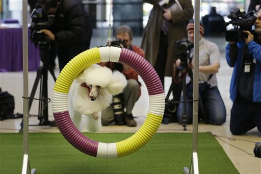 Westminster Kennel Club Dog Show 2014: Start Time, Live Stream and TV Schedule