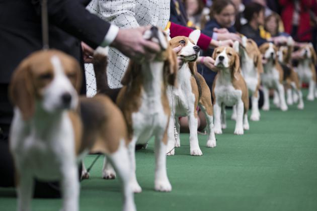 2014 Westminster Dog Show: TV Schedule Info and Full Preview for Day 2