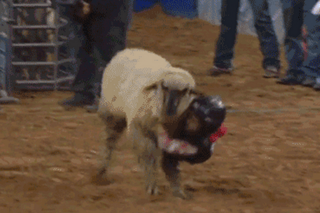 Mutton Bustin': Let's Strap Children to Sheep and See What Happens!