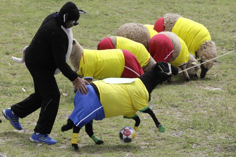 Sheep Battle It out on the 'Pitch' in Colombia to Commemorate the World Cup
