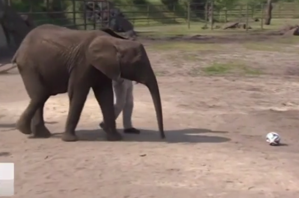 A German Elephant Picked the USMNT to Beat Germany at the World Cup