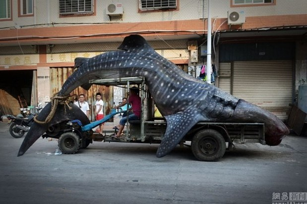 Chinese Fishermen Unintentionally Catch Massive 2-Ton Whale Shark
