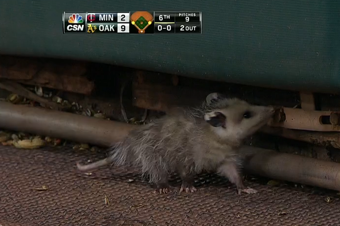 Adorable Baby Opossum Strikes Again During Oakland vs. Twins Clash