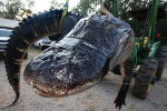 Record-Size Gator Caught in Alabama