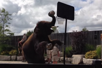 Watch This Elephant Dunk a Basketball