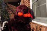 Va. Tech HokieBird Promotes 'Save the Turkeys'