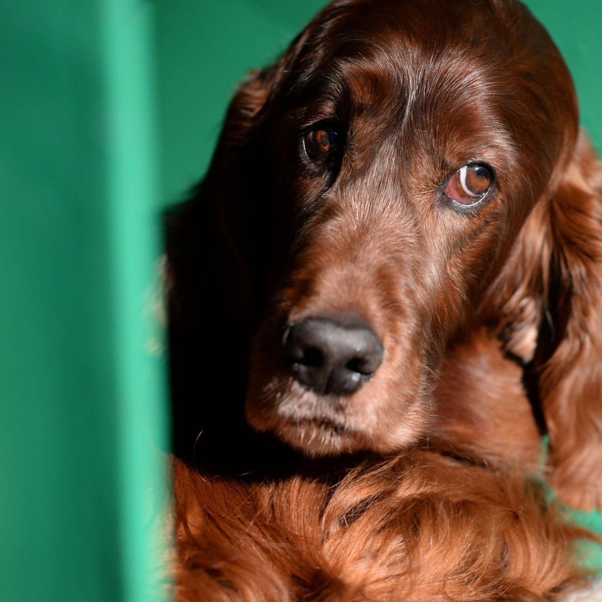 Springer Spaniel National Dog Show Winner