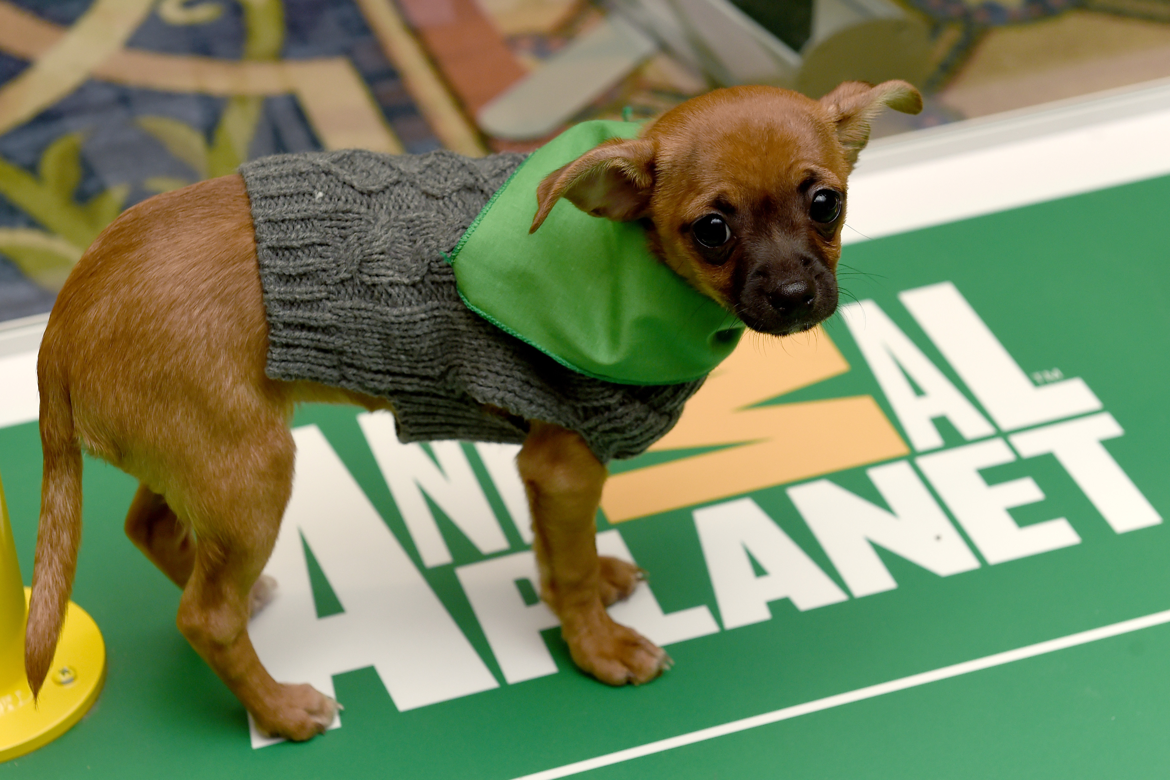 Puppy bowl xiii 2017 recap mvp highlights and twitter for Salon oriaction 2017